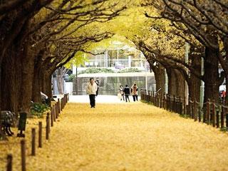 神宮外苑銀杏並木2